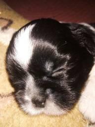 Vendo filhote de shitzu macho está com 16 dias hoje