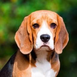 Beagle macho procura uma namorada