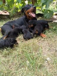 Filhotes Rottweiler puros. Pai e mãe no local.