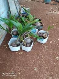Título do anúncio: Mudas de coqueiro da bahia