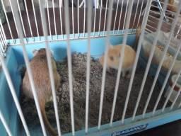 Título do anúncio: 2 Gerbil ( esquilo da mongolia) + Gaiola