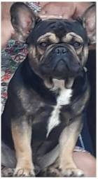 Bulldog francês, black tan e blue gen (NAMORO)