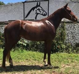 Cavalos de picado a venda no haras Feijó