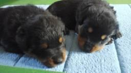 Rottweiler macho e fêmea entrega grátis para toda grande são paulo