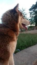 Husky siberiano a procura de uma namorada