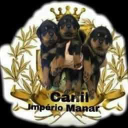 Rottweiler c/pedigree CBKC em até 12 x nos cartões!