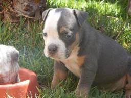 American bully (macho)