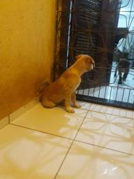 Vendo filhotes de pitbull moster