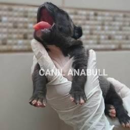 Sorteio do Canil AnaBull Sua C.H.A.N.C.E de G.a.n.h.a.r um Filhote Cinza - Pitbull