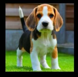 Linda fêmea de beagle