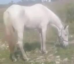 Vendo égua mangalarga