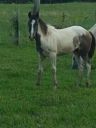 Paint horse puro sem papel