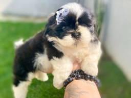 Mini shih tzu com pedigree Machos