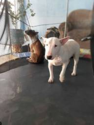 Título do anúncio: Bull terrier (casal )