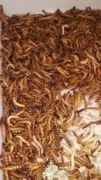 Tenebrios GIGANTES - 100 Larvas