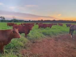 [93]]Senepol PO -R$ 9.500 em 10x no cheque (Fêmeas Prenhes PO)- Novilhas/Vacas -