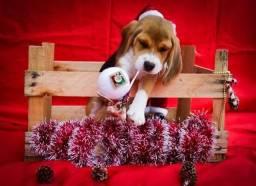 Só aqui pet Princess últimos filhotes de Beagle fêmea