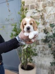 Beagle 13 polegadas peludinhos e fofos!
