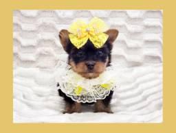 Filhote de yorkshire fêmea, FOTOS REAIS! Namu Royal Pet shop