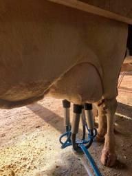 Vacas em lactação LÍQUIDA PLANTEL