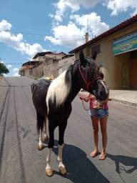 Cavalo Pampa Mangalarga Garanhão