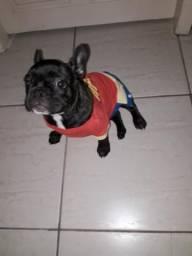 Bulldog francês fêmea. 3 meses