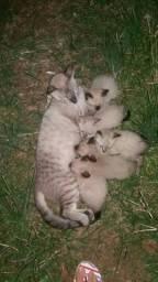Gatinhos pra Adoção Siamês