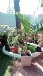 Palmeira menor preço do mercado
