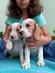Filhotes Beagle lindíssimos