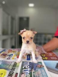 Chihuahua a prontaa entrega * Tayna 0.007