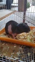 Porquinho skinny