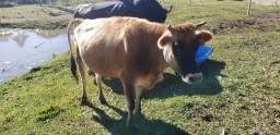 Título do anúncio: vaca pra criar