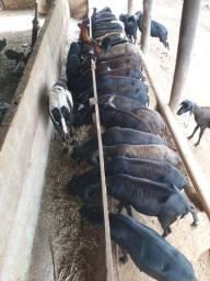 Carneiros, ovelhas e cordeiros