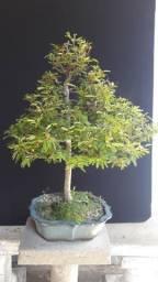 Bonsai Caliandra Rosa