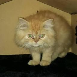 Gato Persa Laraja - Parcelado