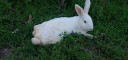 Coelha branca adulta