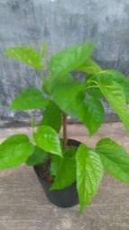 Mudas de amora 25,00 perfeita para plantiu em vasos