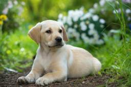 Lindos filhotes de Labrador pronta entrega