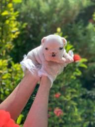Bulldog Inglês bebês, retirada física