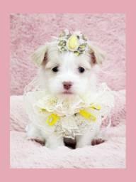 Filhote de lhasa fêmea, FOTOS REAIS! Disponível no Namu Royal Pet Store