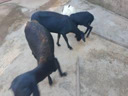 Ovelha parida e carneiro st Inês