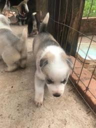 Vendo filhote de husky siberiano