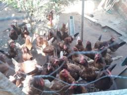 Vendo lote 14 galinha Rhodia botando