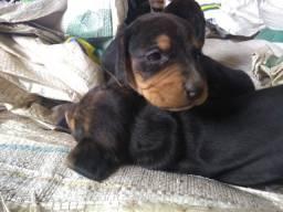 Raça beagle filhote