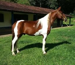 Lindo cavalo pampa de alazão