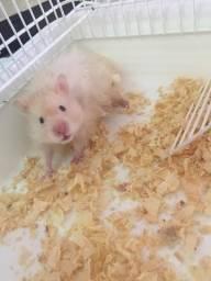Procuro Namorada p/ Hamster