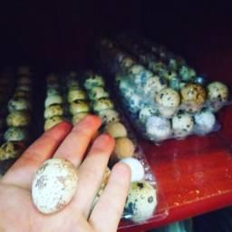 Ovos galados Férteis Codorna Gigante