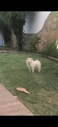 Vendo lindo cachorro Lulu da pomerânia/ Sptiz Alemão