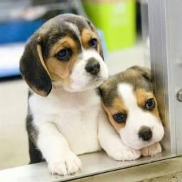 Beagle macho Na promoção parcelamos em ate 12x ja vacinado
