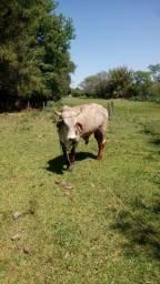 Bovino toro girolando